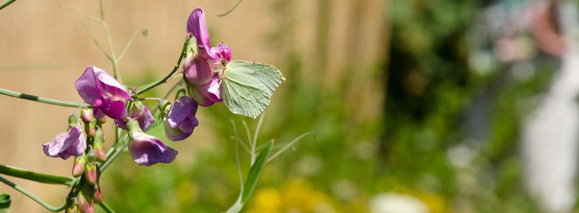 Permakultur, Schmetterling auf einer Blüte