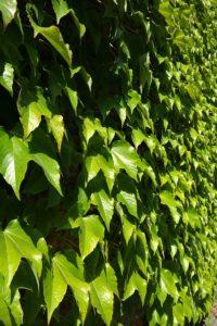 Vortrag - Schaden Kletterpflanzen Hauswänden und Bäumen? @ Medienbäckerei